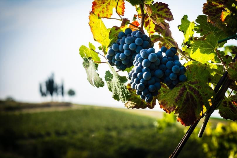 Cipressi e grappoli d'uva, Campiglio. Ottobre 2016 Rid.