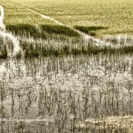 Terra di risaie - Pavia